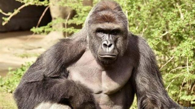 Harambe, de 17 años, participaba en un programa de reproducción de gorilas en cautiverio.. Foto: Reuters